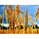 Оценка качества зерновых, бобовых, масличных и продуктов их переработки